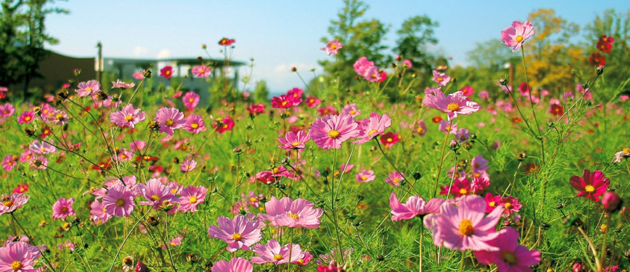 Flower cosmos of town